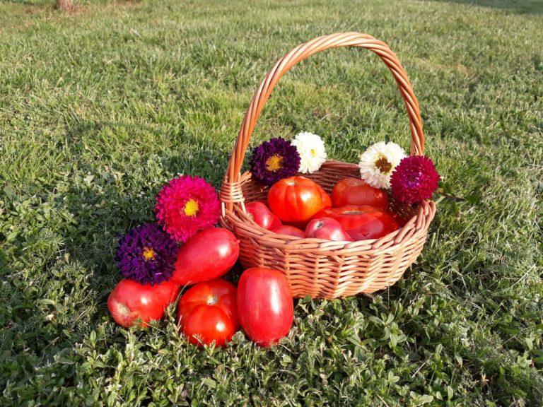 Pomidory wyhodowane w Podlaskiej agroturystyce